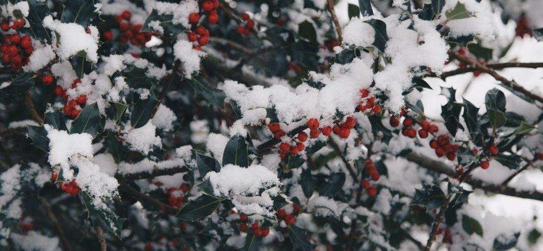 hollybush-covered in-berries-and-snow